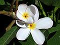 PlumeriaAmarilla.jpg