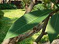Plumeria rubra (533070331).jpg