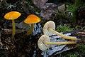 Pluteus admirabilis Peck 587250.jpg