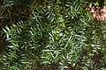 Podocarpus totara in Auckland Botanic Gardens 02.jpg