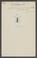 Poeciloderma - Print - Iconographia Zoologica - Special Collections University of Amsterdam - UBAINV0274 033 22 0006.tif