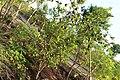 Pohon jeruk siompu. TOWUA.. - panoramio.jpg