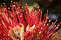Pohutukawa flower stamens and styles.jpg