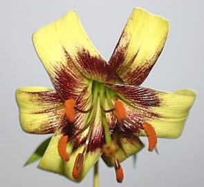 Lilium poilanei, Blüte