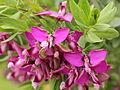 Polygala myrtifolia-IMG 4562.jpg