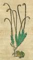 Polytrichum.png