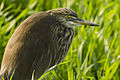 Pond Heron in Nagpur, India,by Dr. Tejinder Singh Rawal.jpg
