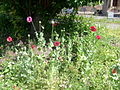 Poppies, Fontenoy Street July 2 2010.jpg