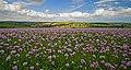 Poppy field in North Dorset 1 20080623.jpg