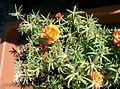 Portulaca grandiflora1.jpg