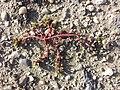 Portulaca oleracea sl11.jpg