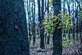 Post bushfire epicormic regrowth in eucalyptus, Blue Mountains, NSW, Australia 04.jpg