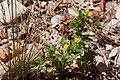 Potentilla norvegica - Flickr - aspidoscelis (3).jpg