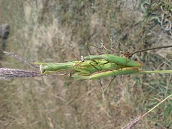 Praying mantis with offspring.jpg