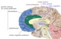 Prefrontal medial.png