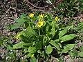 Primula elatior (Sakhalin).jpg