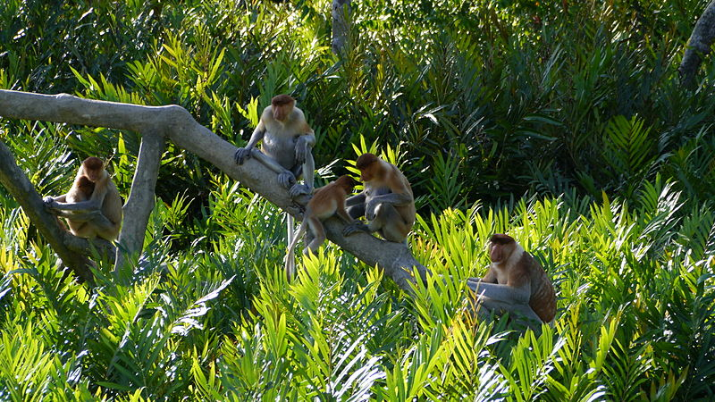 File:Proboscis Monkeys.jpg