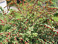 Prunus tomentosa - berries.JPG