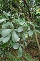 Pseudopanax lessonii kz4.jpg