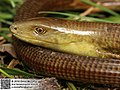 Pseudopus apodus (47932911452).jpg