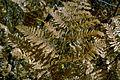 Pteridium aquilinum subsp pubescens 5361140.jpg