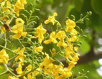 Pterocarpus rotundifolius - Image: Pterocarpus rotundifolius, blomme, Pretoria, a