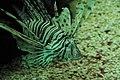 Pterois volitans at Berlin acquarium (2521997984).jpg