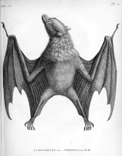 Gray flying fox species of mammal