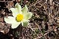 Pulsatilla alpina-4589 - Flickr - Ragnhild & Neil Crawford.jpg