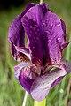 Purple Iris reichenbachii.jpg