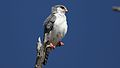 Pygmy falcon, or African pygmy falcon, Polihierax semitorquatus, at Kgalagadi Transfrontier Park, Northern Cape, South Africa. (34384166521).jpg