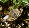 Pyraustra despicata - Flickr - gailhampshire (1).jpg