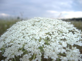 Queen Anne's lace on Prince Edward Island