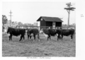 Queensland State Archives 4507 Fat bullocks Gatton College c 1951.png