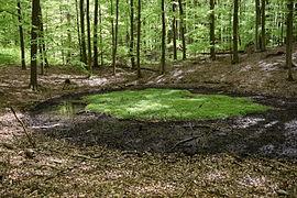 Quelltümpel im Buchenwald Grumsin.JPG