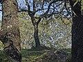Quercus-pyrenaica-20071110.jpg