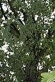 Quercus alba 24zz.jpg