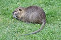 Ragondin (Myocastor coypus) (53).jpg
