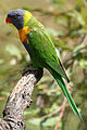 RainbowLorikeet 1836.jpg