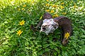 Ram skull in a patch of heartleaf arnica (7e5f2229-adcc-40cb-a125-e591fd45a746).jpg