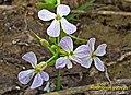 Raphanus sativus 015.jpg