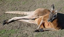 Red-Kangaroo.jpg
