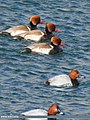 Red-crested Pochard (Netta rufina) & Common Pochard (Aythya ferina) (32444866980).jpg