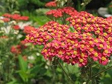 Achillea millefolium - Wikipedia