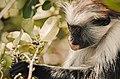 Red Colobus monkey,Zanzibar 9.jpg