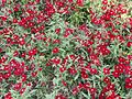 Red Dianthus in flower bed 05.jpg
