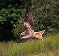 Red Kite 12 (5939333545).jpg