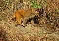 Red Monkey (5273796071).jpg