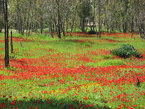 Lakhish Regional Council - Red blossom near Kiryat Gat
