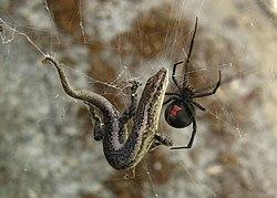 Le venin de la veuve noire à dos rouge lui permet parfois de capturer des proies plus grosses, comme ce petit lézard. On distingue bien le motif rouge en forme de sablier sur le ventre de cette femelle.